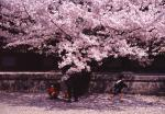 桜-03P 94(地方:奈良県)