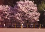 小学校の桜-02P 88t