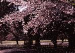 2.桜-04Ptc