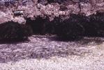 3.桜-06Pt