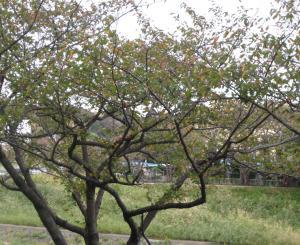 秋の桜の木