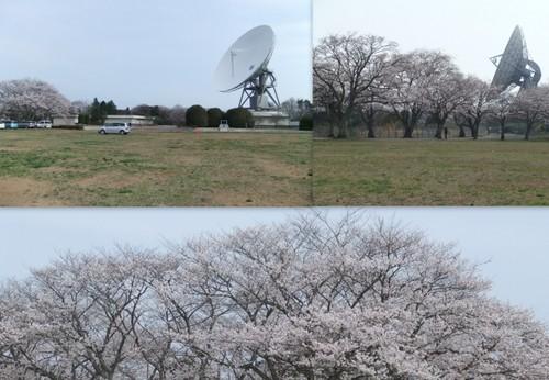 2013_0405桜公園2