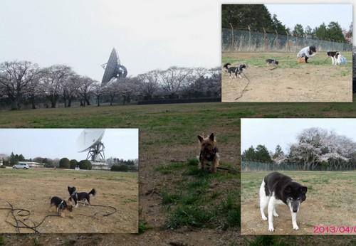 2013_0405桜公園3