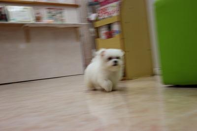 クッキー子犬 019