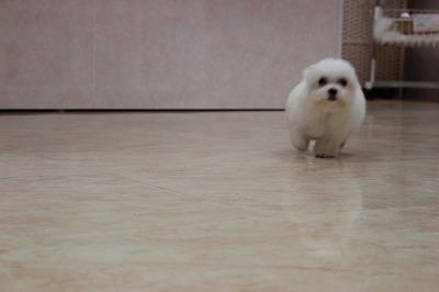 クッキー子犬 026