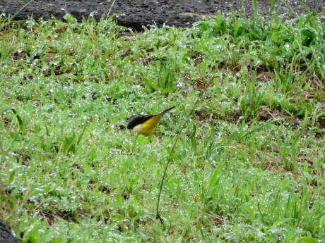 黄色い小鳥