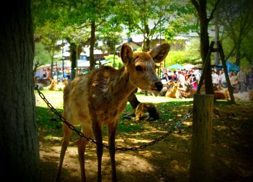 2010-5-1 奈良公園 058