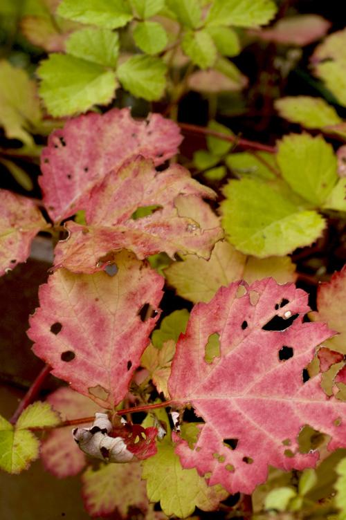 ナワシロイチゴ紅葉