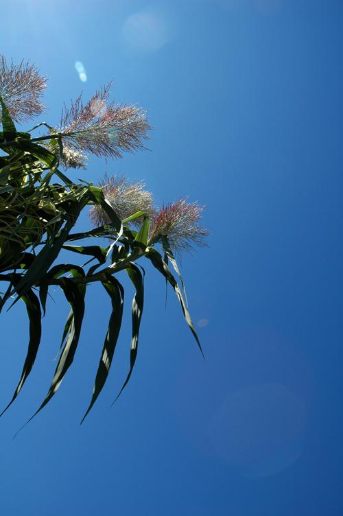 西洋斑入り暖竹