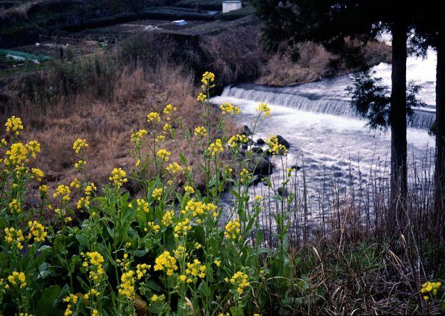 早春の大見川