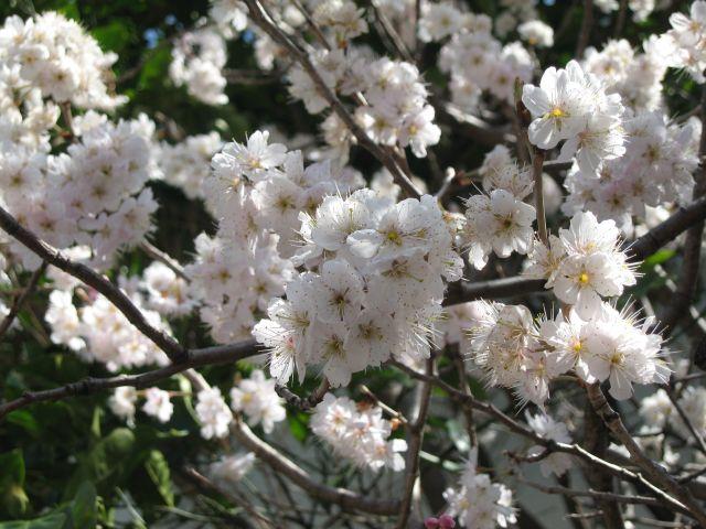 桜の花1_20100314