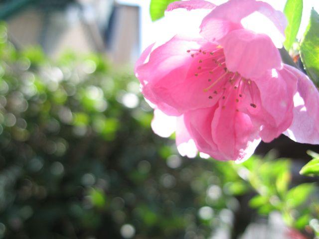桃の花1_20100314