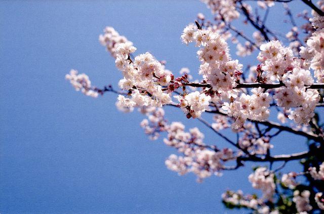 桜の花2_20100314