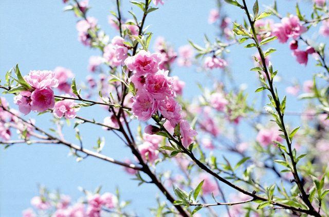 桃の花2_20100314