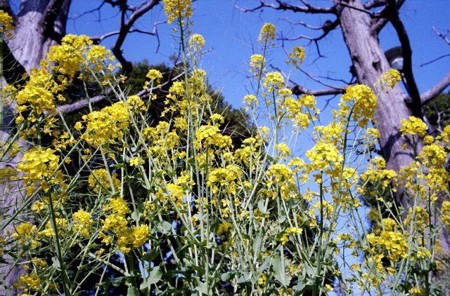 菜の花2_20100314