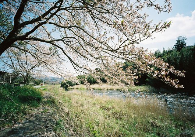 桜咲く大見川2010