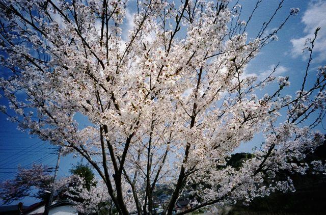 伊豆修善寺の桜20100410-03