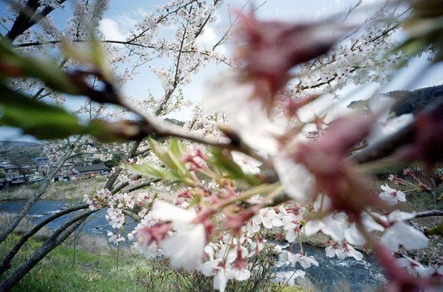 伊豆修善寺の桜20100410-02