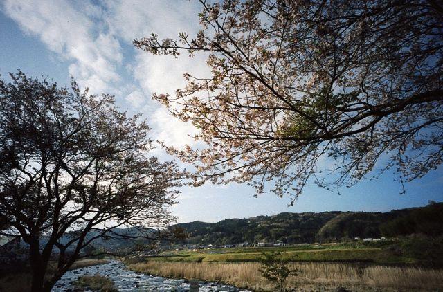 伊豆修善寺の桜20100410-01