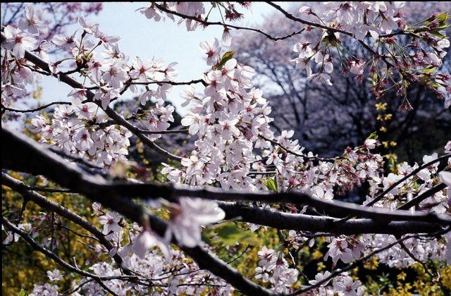 昭和記念公園の桜2