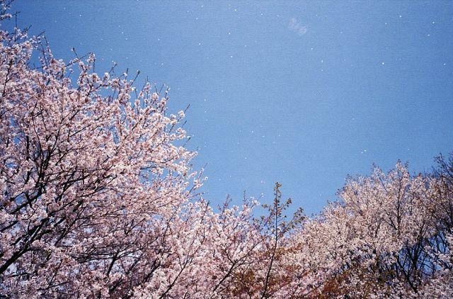 ちるはさくら2_昭和記念公園