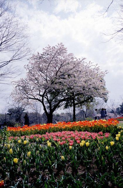 昭和記念公園の桜1