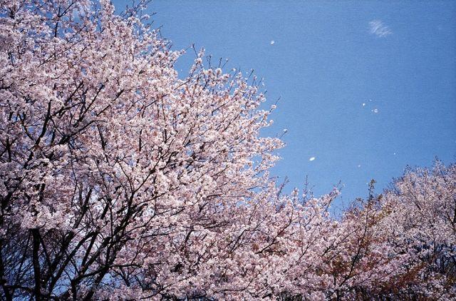 ちるはさくら_昭和記念公園