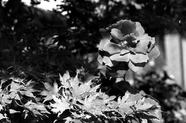 花壇の紅01