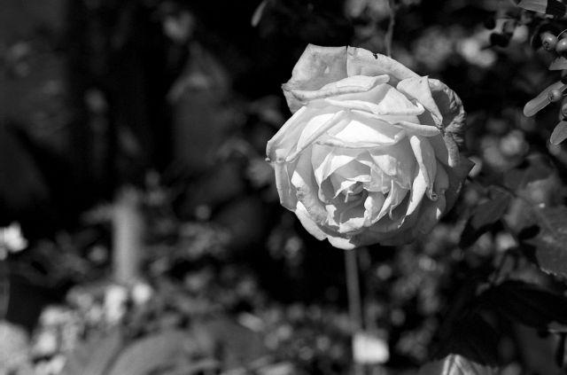 花壇の白01