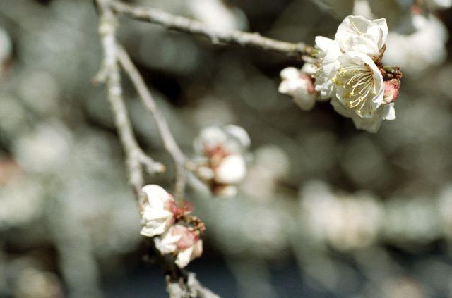梅は咲いたか01c