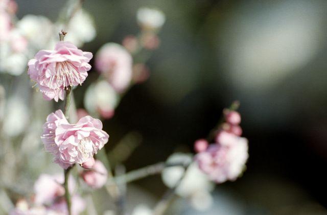 梅は咲いたか01d