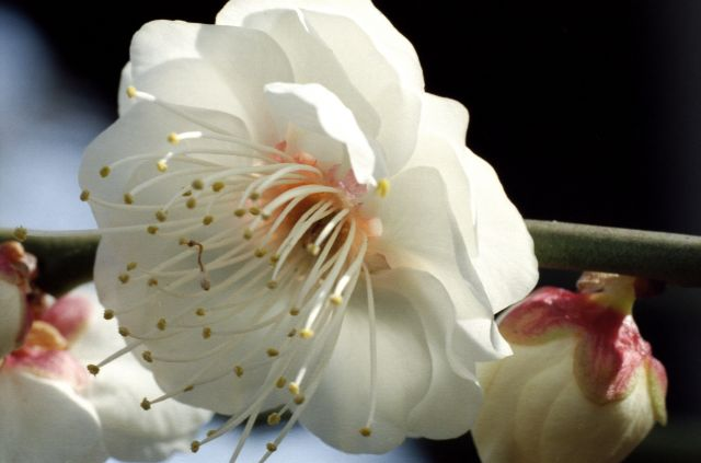 梅は咲いたか01b