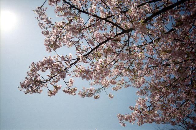 桜2011-01c