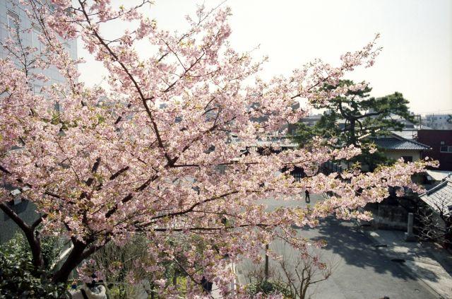 桜2011-01a