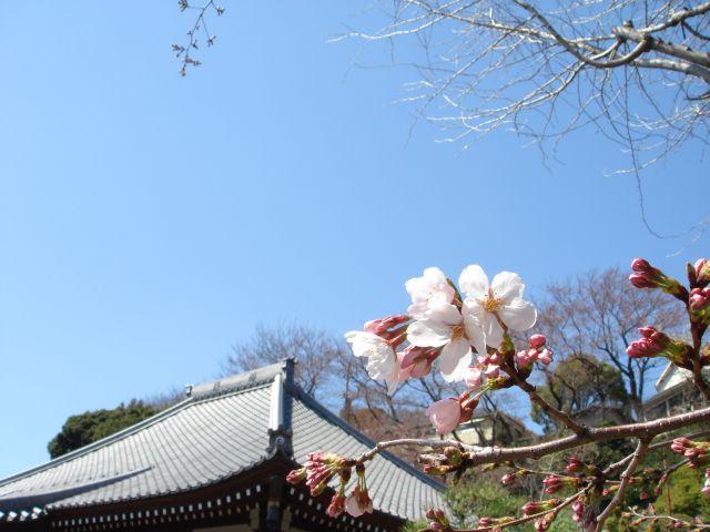 桜2011-02b