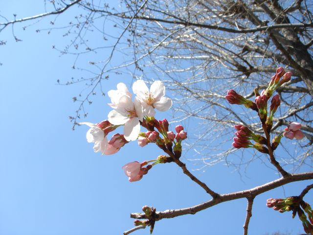 桜2011-02a