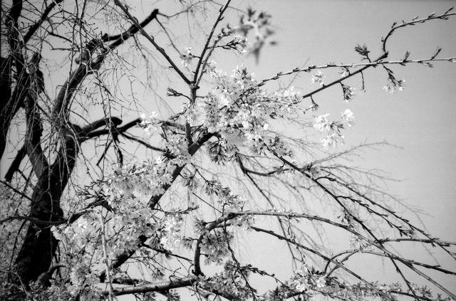 桜2011-03f