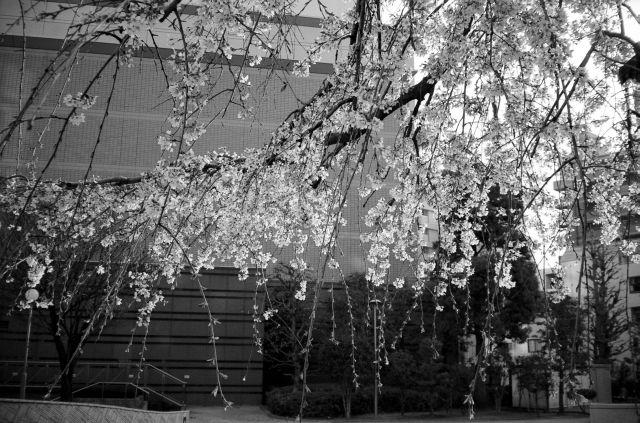 桜2011-03b