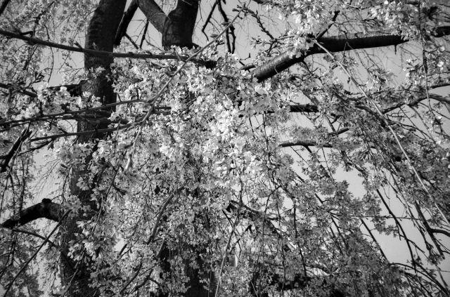 桜2011-03c