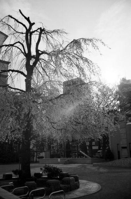 桜2011-03a