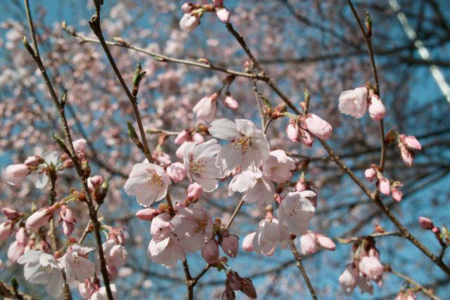 桜2011-04b