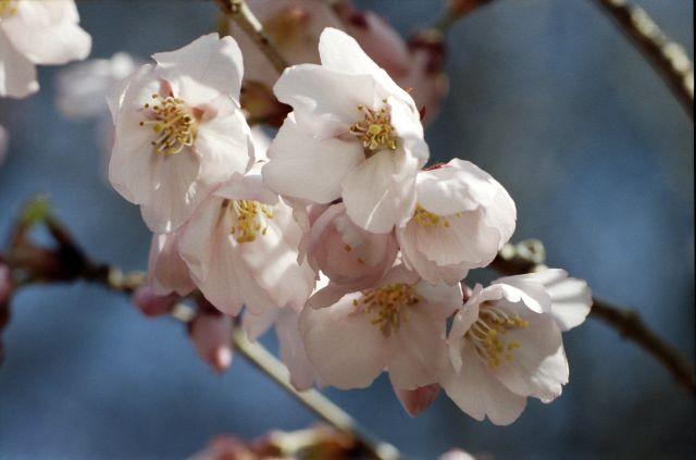 桜2011-04a