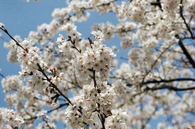 桜2011-05a