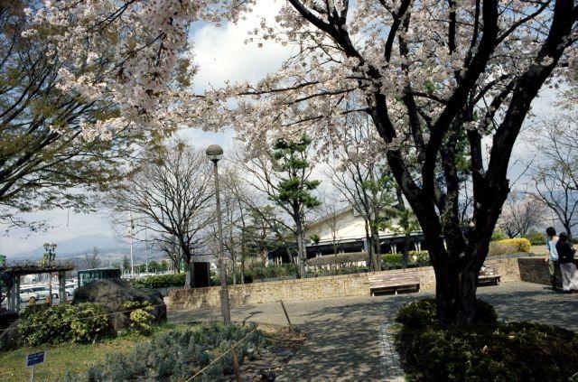桜の木の下で01b