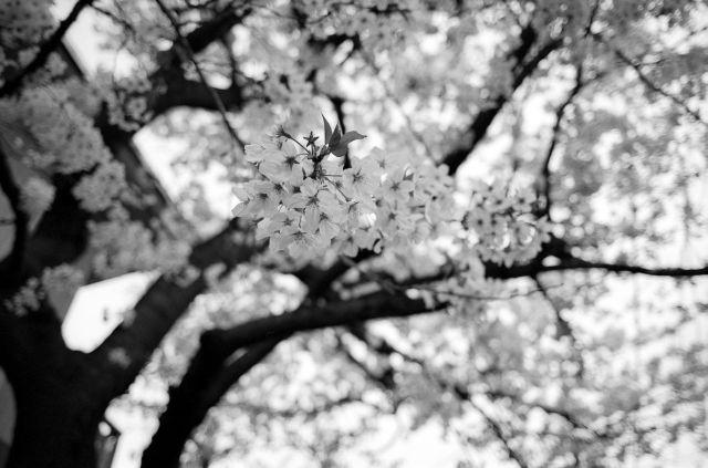 桜2011-06b