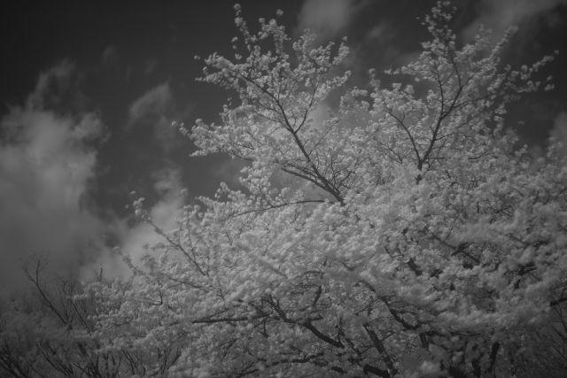 IRde桜01d