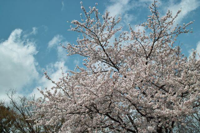 IRde桜01b