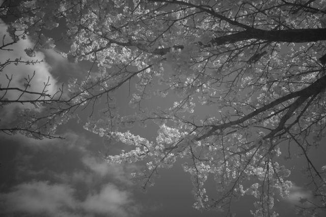 IRde桜01a