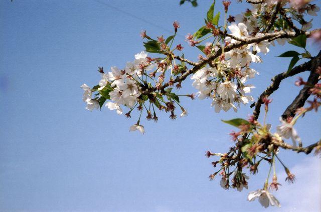 大見川20110416i