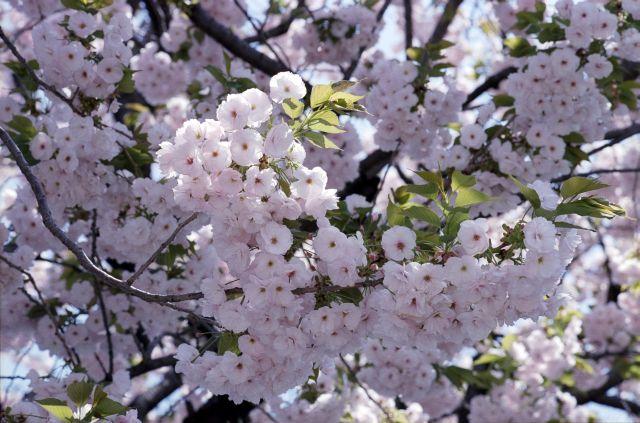 桜2011-07b